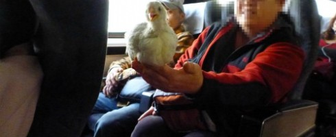 Chicken on the train